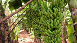 Jovenel président : tous à la banane !