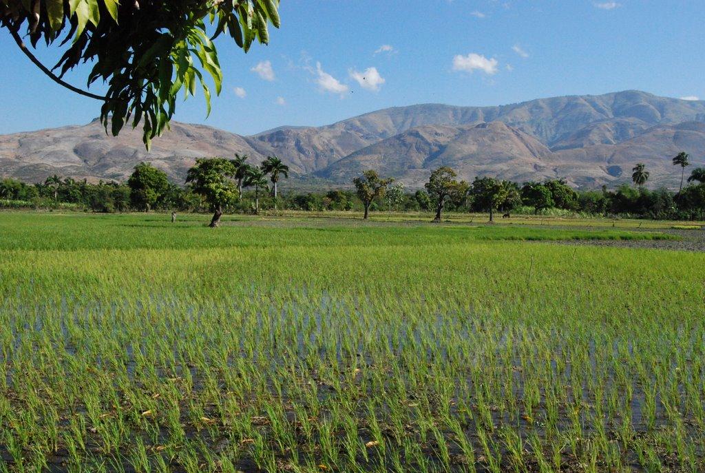 How the U.S. Crippled  Haiti's Domestic Rice Industry